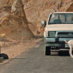 Die Ziege (ALI, THE GOAT & IBRAHIM